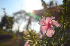 Pink hibiskusblomman Fotografering för Bildbyråer