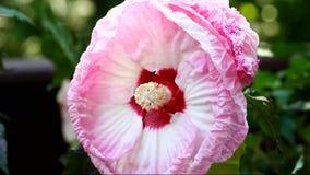Pink hibiskusblomman arkivfilmer