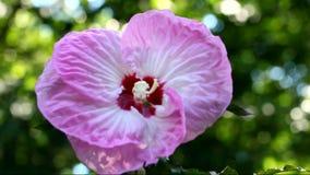 Pink hibiskusblomman lager videofilmer