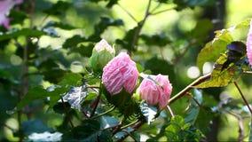 Pink hibiskusblomman stock video
