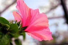 Pink hibiskusblomman Royaltyfri Fotografi