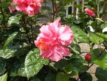 Pink hibiskusblomman Royaltyfria Bilder