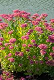 Pink high flowers on the banks of a calm river or lake in sunny weather. resting-place. For your design royalty free stock photo