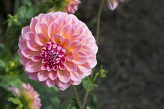 Pink Hillier Tanunda Dahlias - Left Side. Pink Hillier Tanunda Dahlias growing in a natural garden setting. Primary and shallow focus on just the main flower Royalty Free Stock Images