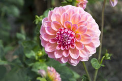 Pink Hillier Tanunda Dahlias - Right Side Stock Photo