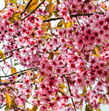 Pink Himalayan cherry Royalty Free Stock Photo