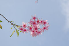 Pink Himalayan Cherry flower. Himalayan Cherry (Prunus cerasoides) or 'Queen of royal tiger flower Stock Photo