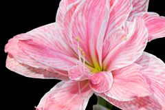 Pink Hippeastrum flower Stock Photos