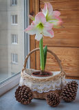 Pink hippeastrum next to fir-cone. Royalty Free Stock Photo