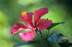 Pink hisbiscus flower Stock Image