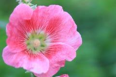 Pink hollyhock Alcea rosea stock photography