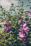 Pink Hollyhock blossoming in the daylight, beautiful garden flowers. In the summer Stock Photos