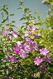 Pink Hollyhock blossoming in the daylight, beautiful garden flowers. In the summer Royalty Free Stock Image