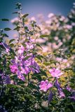 Pink Hollyhock blossoming in the daylight, beautiful garden flowers. In the summer Stock Images