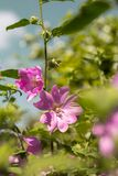Pink Hollyhock blossoming in the daylight, beautiful garden flowers Royalty Free Stock Photos