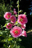 Pink Hollyhock Closeup Stock Photo