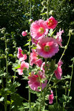 Pink Hollyhock Closeup royalty free stock images