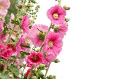 Pink hollyhock flower Royalty Free Stock Image
