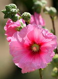 Pink Hollyhock flower Stock Photography