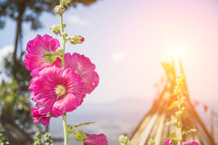 Pink hollyhock flower beautiful in garden. Blur background and flare Stock Image