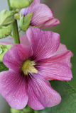 Pink Hollyhock Flower Royalty Free Stock Photography