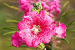 Pink hollyhock flower Stock Image