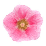 Pink hollyhock flower closeup. Isolated on white background Royalty Free Stock Image