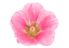 Pink hollyhock flower closeup. Isolated on white background Stock Photos