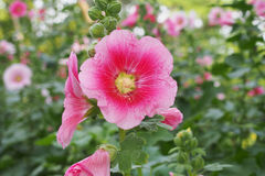 Pink hollyhock flower Stock Photo
