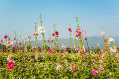 Pink hollyhock flower in garden Royalty Free Stock Images