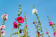 Pink hollyhock flower in garden Royalty Free Stock Image