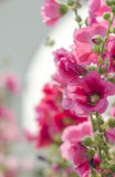 Pink hollyhock. Flower in garden.Soft focus Stock Images