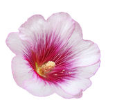 Pink Hollyhock Flower Royalty Free Stock Photos