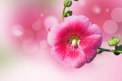 Pink hollyhock flower Stock Images
