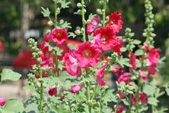 Pink Hollyhock flowers stock photos
