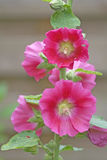 Pink hollyhock flowers. Closeup of bright pink common holyhock flowers, Alcea rosea stock photos