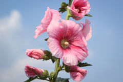 Pink hollyhock flowers. Closeup on blue sky background Royalty Free Stock Images