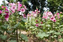 Pink hollyhock in garden. blooming malva flower in park. Alcea r. Osea flora in spring Royalty Free Stock Image