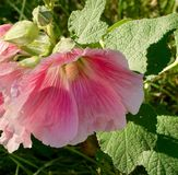 Blushing pink hollyhock blossoms and buds in the sunshine Stock Photo