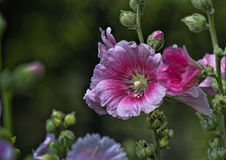 pink hollyhock Stock Photo