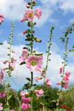 Pink hollyhock Stock Images