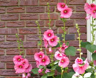 Pink Hollyhocks Against A red Brick Wall Royalty Free Stock Photo
