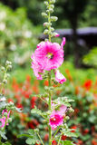 Pink Hollyhocks Stock Photos