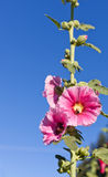 Pink Hollyhocks with Bee Stock Photography