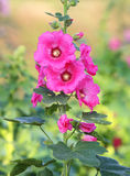 Pink hollyhocks blooming Stock Photo