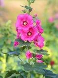 Pink hollyhocks blooming Stock Photo