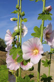Pink hollyhocks flowers Stock Photos