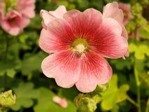 Pink Hollyhocks flowers in the garden stock photo