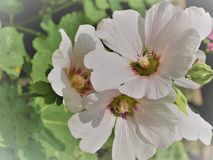 Pink Hollyhocks flowersor Althaea rosea flower blossoms on a summer day in the garden royalty free stock image