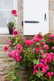 Pink hollyhocks in front of a house wall Stock Photos